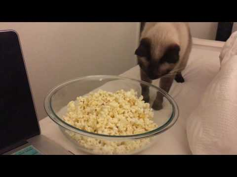Siamese Cat Scared of Popcorn!