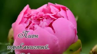 видео Посадка тюльпанов осенью.