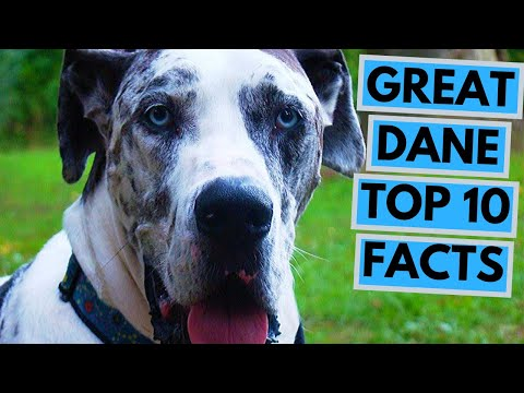 Great Dane - TOP 10 Interesting Facts