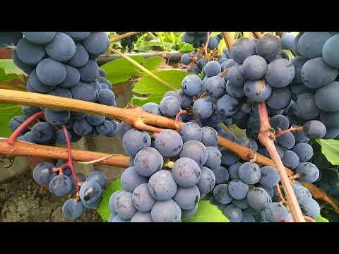 Лучший сорт винограда для начинающих садоводов.