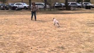 Puppy Obedience Training: Meeka 6 Months Old Graduation Video