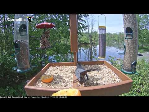 Gray Catbird on the Cornell Lab FeederWatch Cam – May 23, 2017