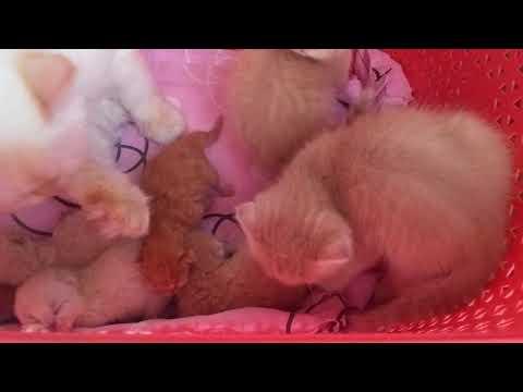 Anne kedi ve yavrular ( evde kedi bakımı )