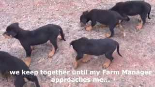 Our Rottweiler Puppies.mp4