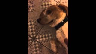 Charlie Adult Lemon Beagle Needs New Home!! Nyc Location