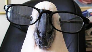 Funny Parrots! - አስቂኝ ፓሮቶች
