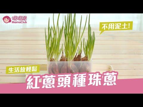 紅蔥頭種珠蔥,不用泥土超簡單