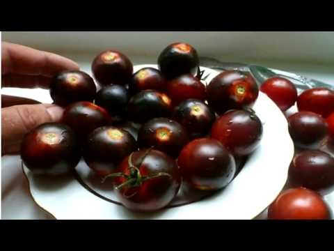 Выращивание томатов в теплице. Сорт томатов
