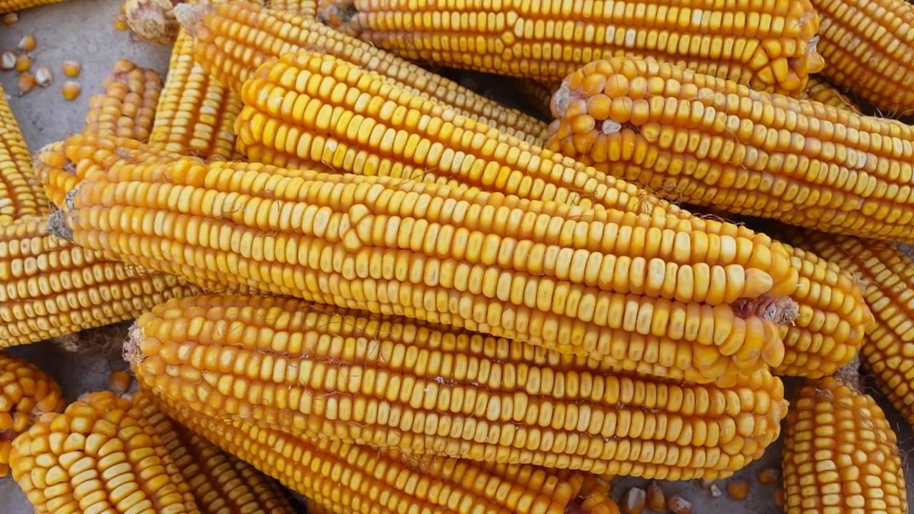 Drying Up Corn By The Sunbeams تجفيف الذرة على الشمس Youtube