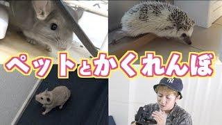 ペット3匹とかくれんぼしたら楽しすぎた!!(ハムスター、ハリネズミ、チンチラ) thumbnail