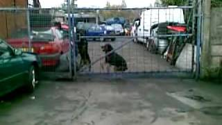 Rottweiler Guard Dog Jumping A Seven Foot Fence
