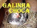 Método eficaz para acabar com o choco das galinhas. Maneira para fazer começar botar novamente