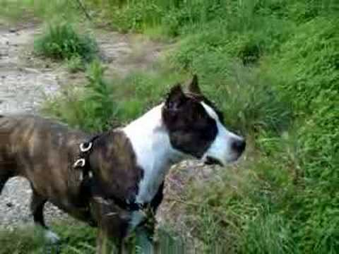 American Staffordshire Terrier (APBT + Staffy Mix) - Bodybuilding