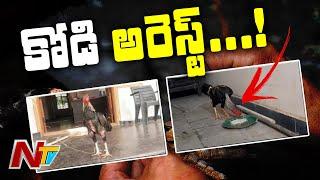 కోడిని అరెస్ట్ చేసిన పోలీసులు | Cock Arrest In Jagtial l NTV