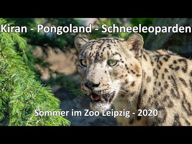 4k // Sommer im Zoo Leipzig - Der Natur auf der Spur - Kiran - Pongoland - Schneeleopard - Chillout