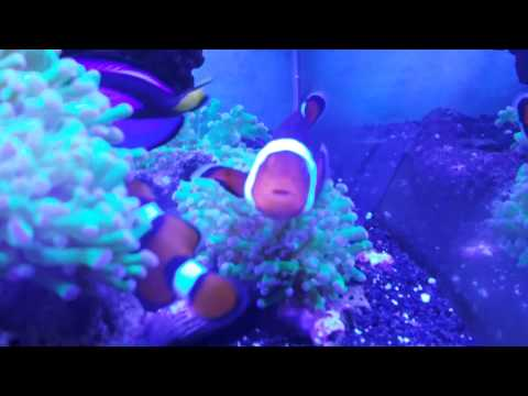 Clown Fish Female Dying?