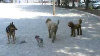 Grady The Poodle And Friends At Ottawa Dog Park