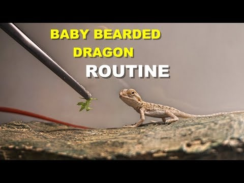Baby Bearded Dragon Daily Routine  !! Tips On Bearded Dragon Care