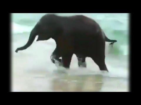 """Octopus's Garden"" by the Beatles... lyrics plus Baby Elephant!"