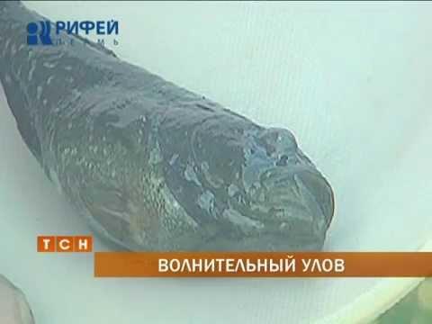 В Кунгуре поймали хищную рыбу родом с Дальнего Востока
