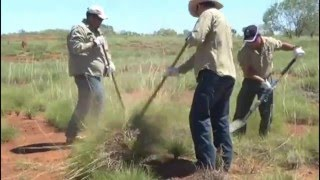 Indigenous Australians have known the benefits of Spinifex Grass for centuries