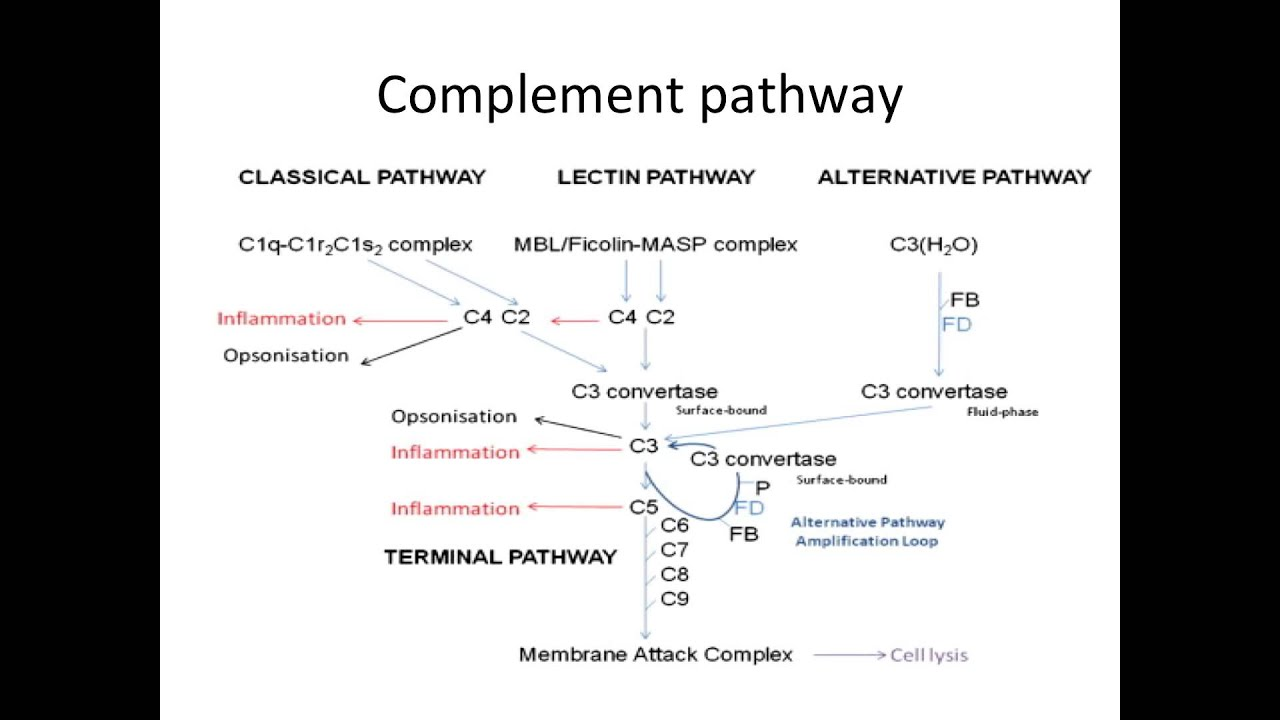 Complement System  Summary