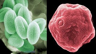 Electron Microscope Images Of Pollen Grains | Electron Microscope Images | Photos | Pictures