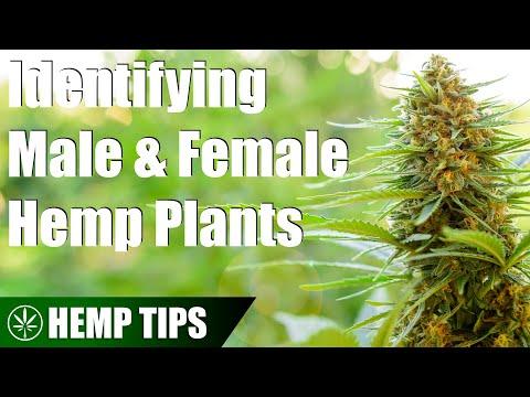 How to Identify Male & Female Hemp Plants
