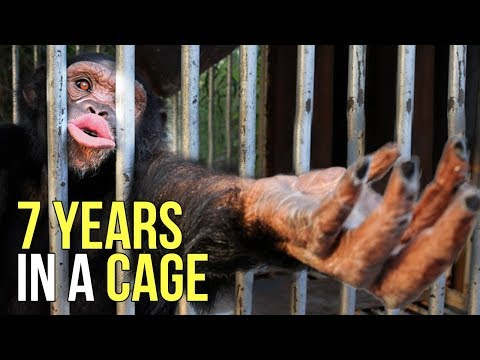 After Being Behind Bars For 7 Years, Charlie The Chimpanzee Was Finally Rescued