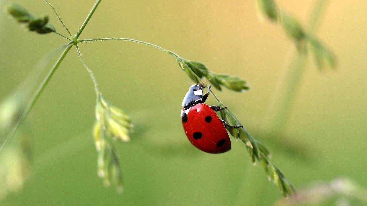 13 ladybug facts youtube
