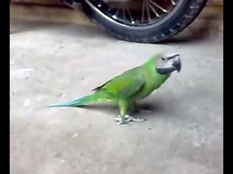 vẹt ngực hồng(pink chest parrot).mp4