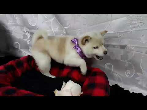 PuppyFinder.com : Rosemary the white Shiba Inu female puppy on sale
