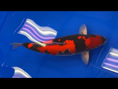 All Japan Koi Show 2020! *THE BEST KOI ON THE PLANET!!!*