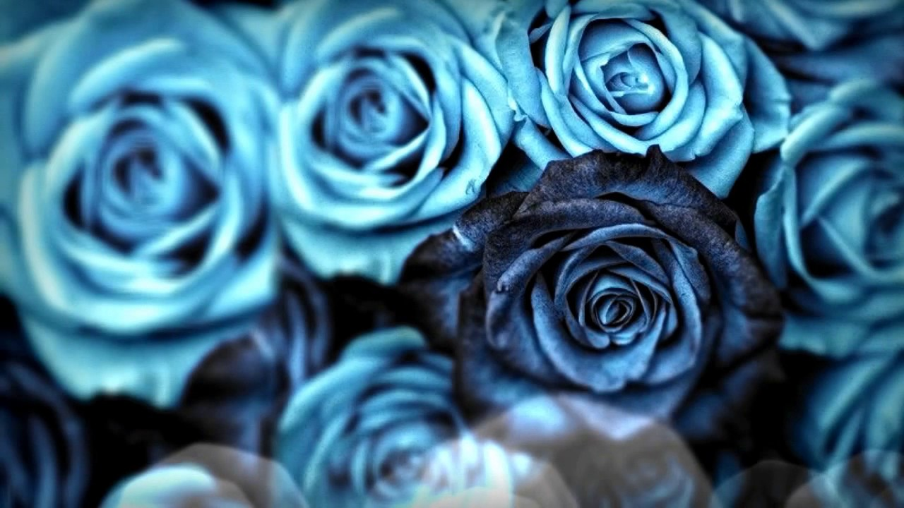 Blue roses youtube for How are blue roses made