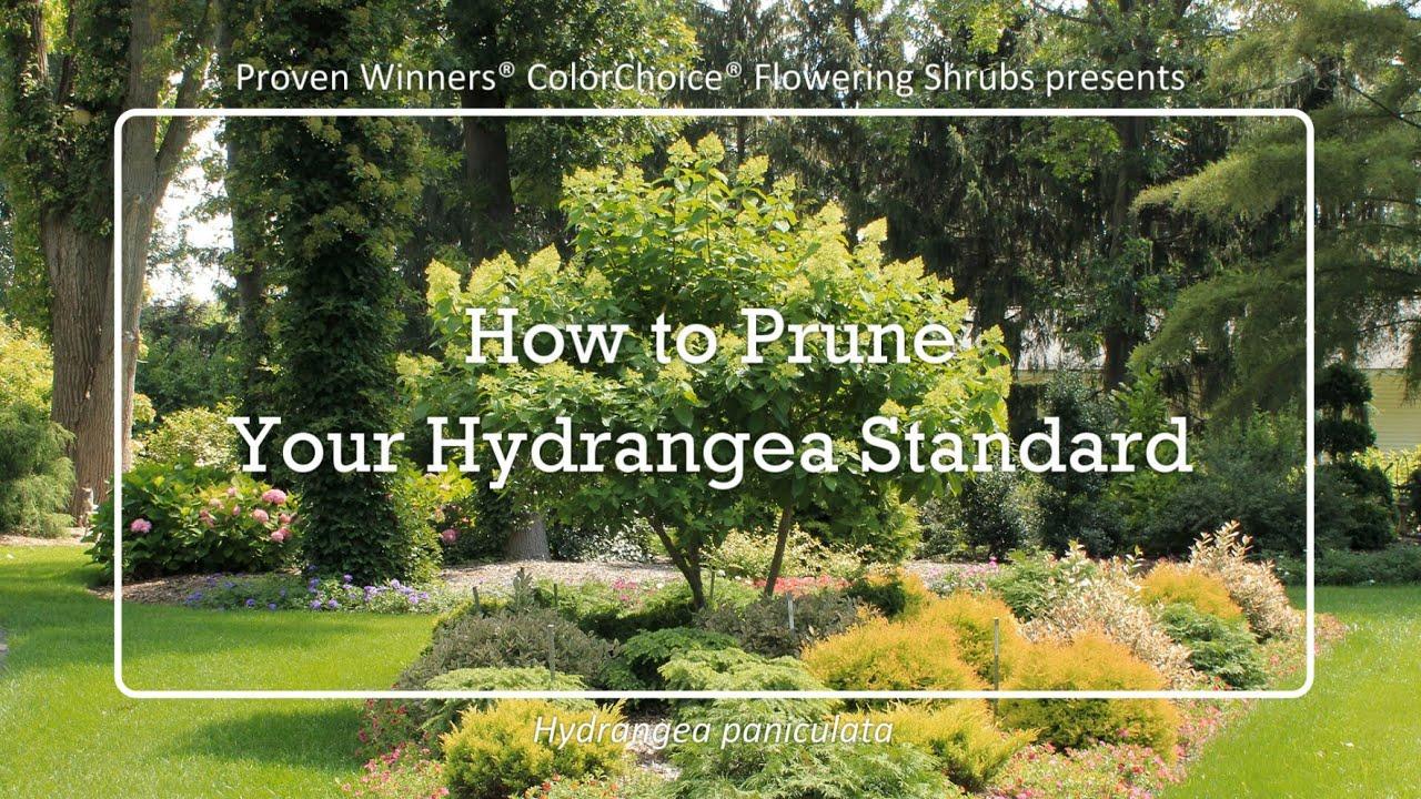 How To Prune Your Hydrangea Standard