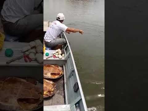 Ibama identifica e intima pessoas que postaram vídeos nas redes sociais pescando tartarugas em Luciara