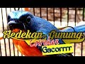 Tledekan Gunung Gacor Cetrekan Istimewa Full Ngerol Tledekangununggacor  Mp3 - Mp4 Download