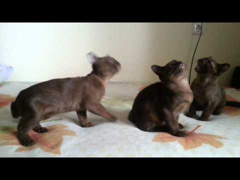 "Burmese kittens brown (sable) ""El Corazon"""