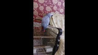 kufurbaz jako papagan +18 kufur içerir.