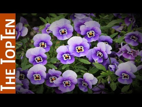 The Top Ten Most Beautiful Violet Flowers