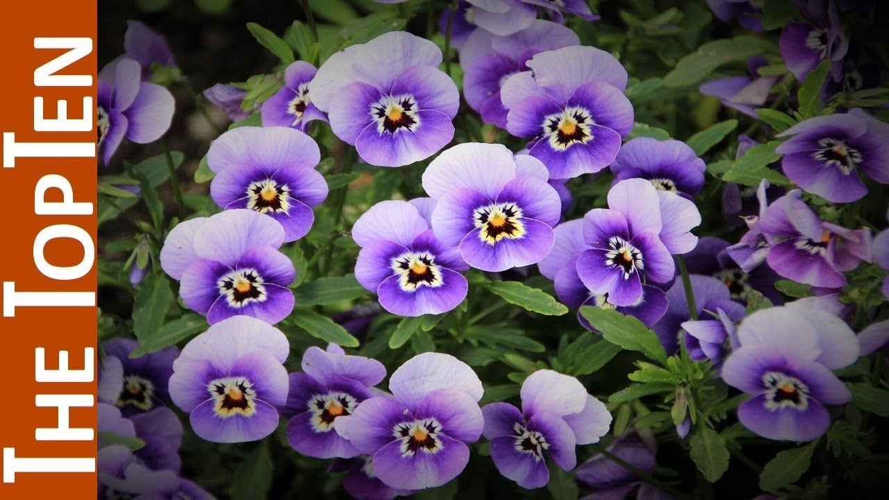 The Top Ten Most Most Beautiful Violet Flowers Youtube