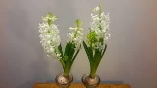 히야신스 수경재배 (Growing Hyacinth Bu…
