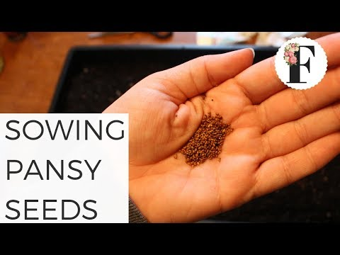 sowing-pansy-seeds-germinating-pansy-growing-pansies-from-seed-growing-flowers-gardening-beginners
