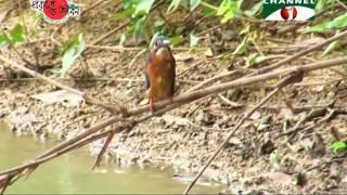 Nature and Life   Episode 145 (Kingfisher of Bangladesh)