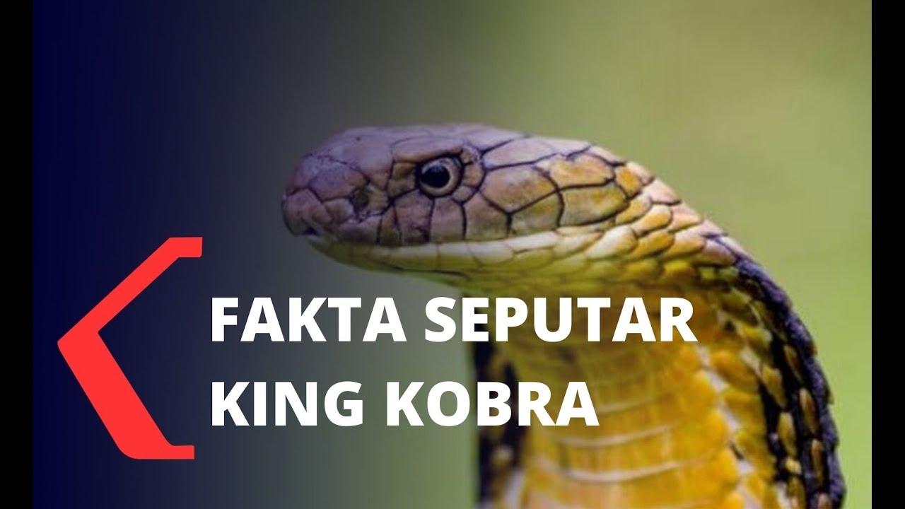 Fakta Seputar Ular King Kobra dan Cara Cegahnya Masuk ...
