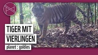 Seltene Aufnahmen: Tiger kriegt Drillinge & Vierlinge! | Kamerafalle | WWF Deutschland