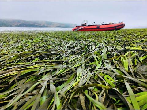 California Seagrass Meadows: Can they Combat Ocean Acidification?