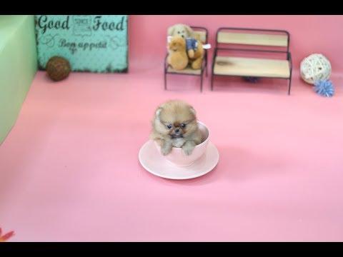 # Popular Videos # Pet # Small Dog Orange Pomeranian