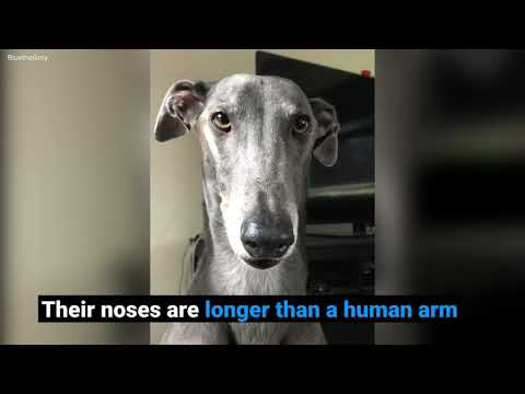 10 surprising facts about greyhounds