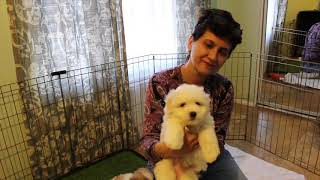 Coton Puppies For Sale - 2/25/20